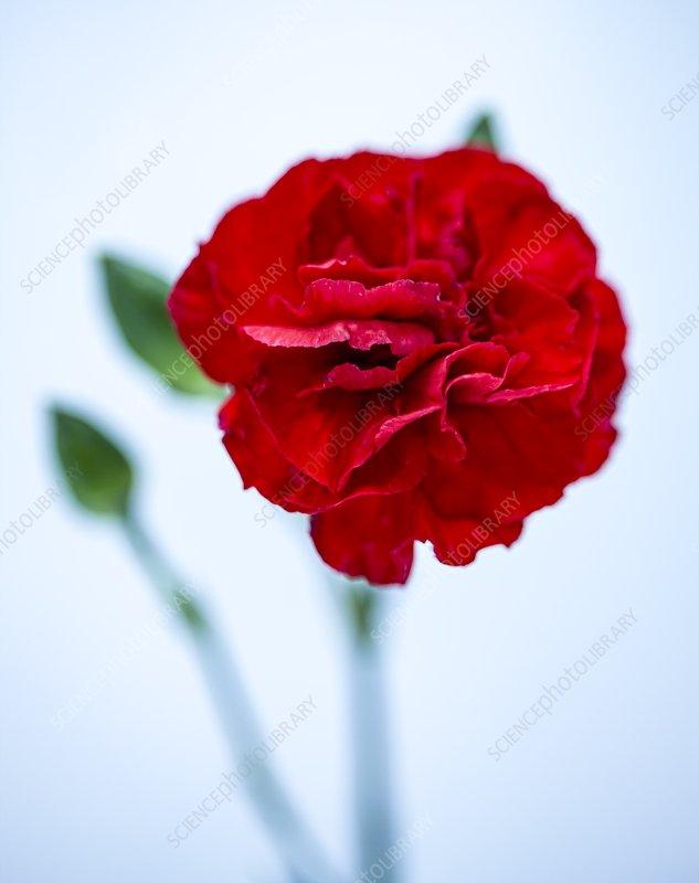 Carnation (Dianthus 'Brunello')