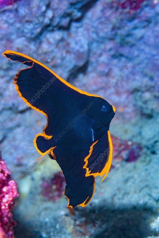 Juvenile pinnate batfish