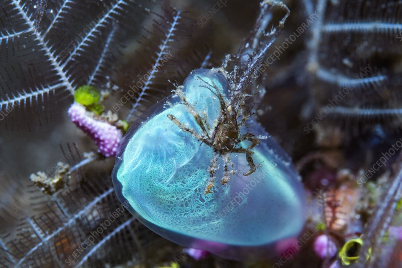 Decorator crab perched on a blue club tunicate