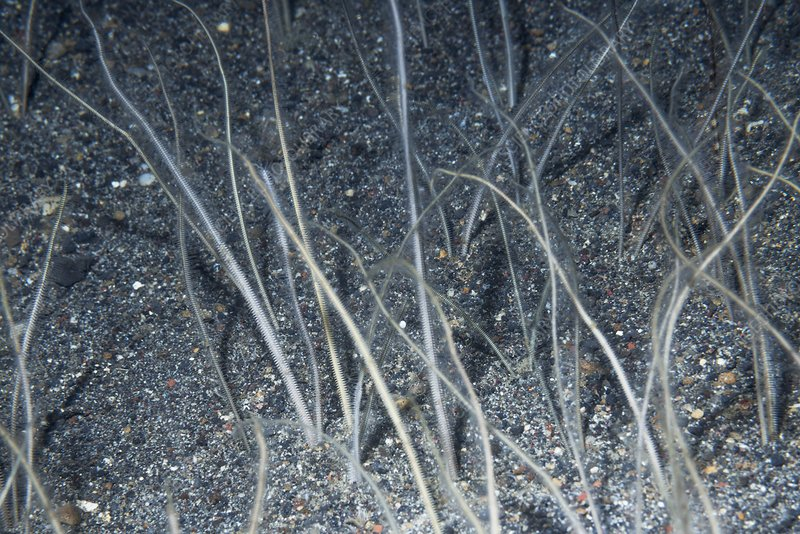 Burrowing brittle worms