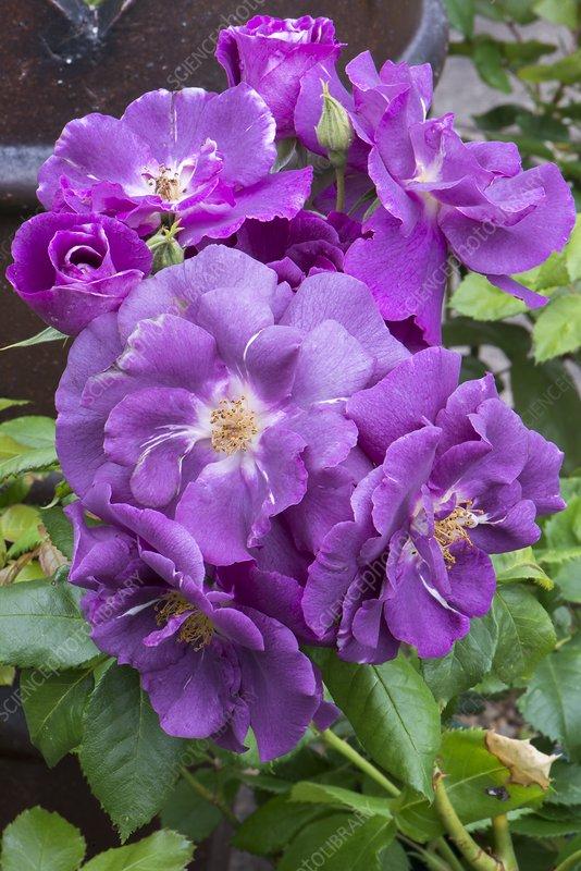Rosa 'Moody Blue'