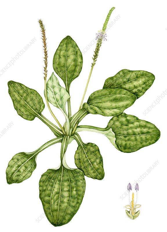Greater plantain (Plantago major), illustration