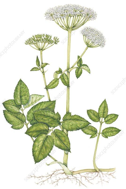 Ground elder (Aegopodium podagraria), illustration