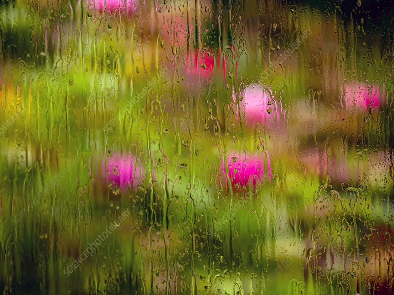 Peonies behind rainy window