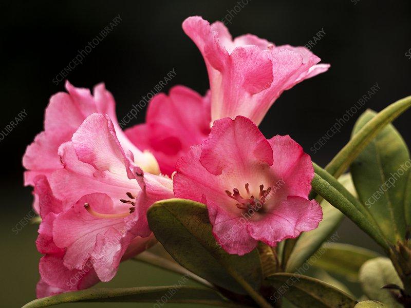 Rhododendron yakushimanum 'Surrey Heath'