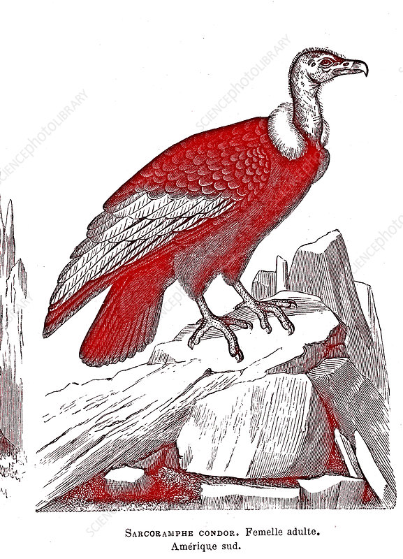 Adult female condor, 19th century illustration.