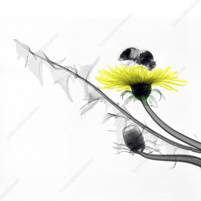 Bumblebee on a dandelion, coloured X-ray