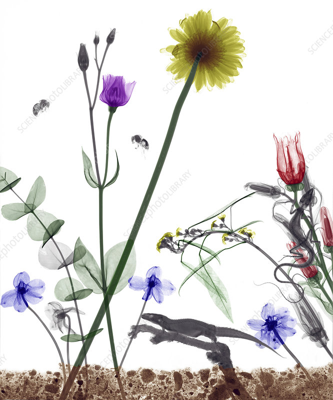 Flowers and lizard, coloured X-ray