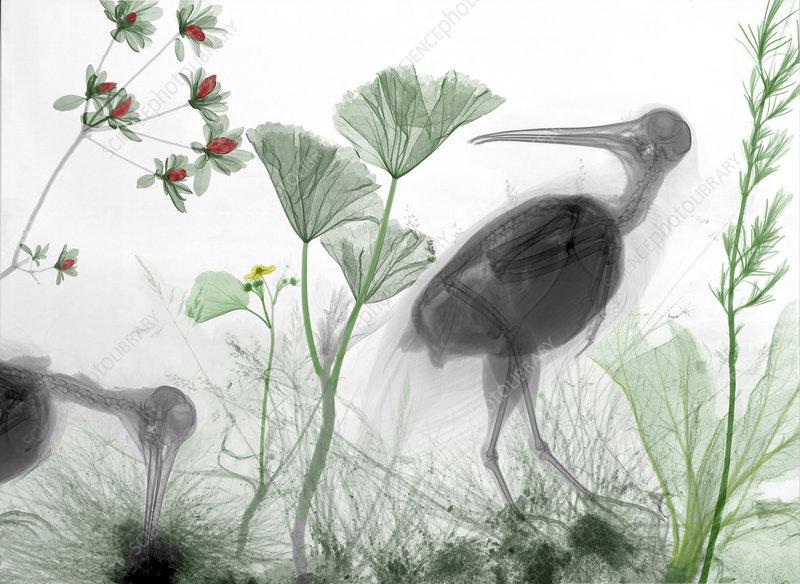 Woodcocks (Scolopax sp.), coloured X-ray