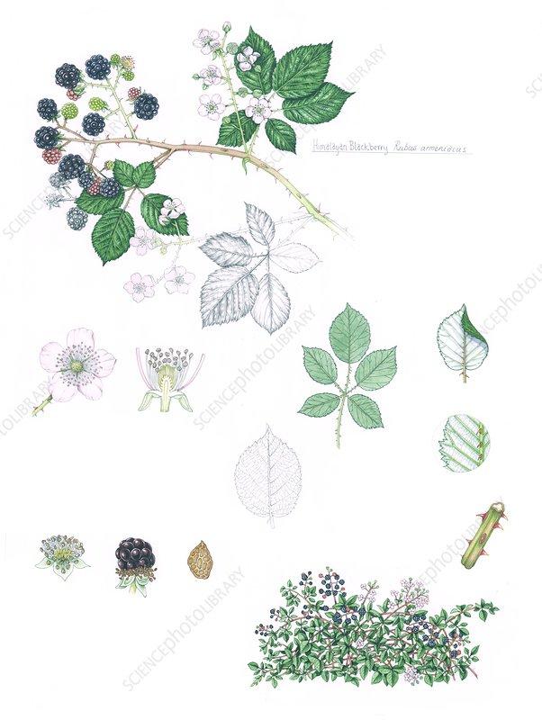 Himalayan blackberry (Rubus armeniacus), illustration
