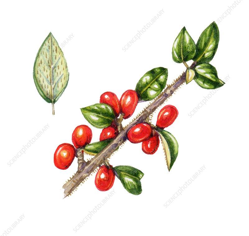 Himalayan cotoneaster (Cotoneaster simonsii), illustration