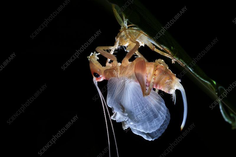 Moulting raspy cricket