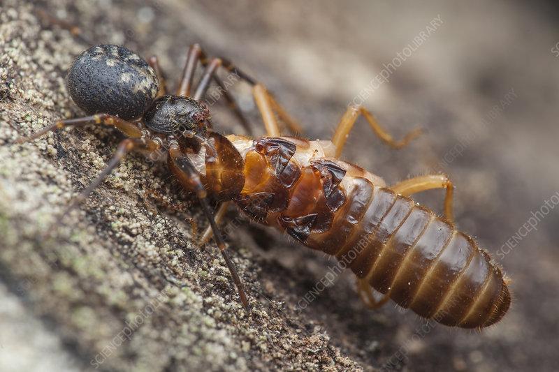 Crab spider with termite prey