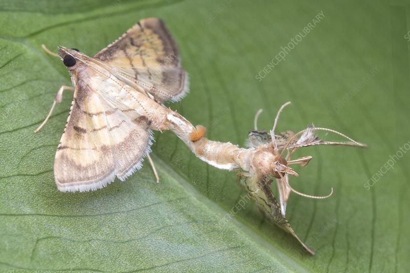 Mating moth stuck to partner