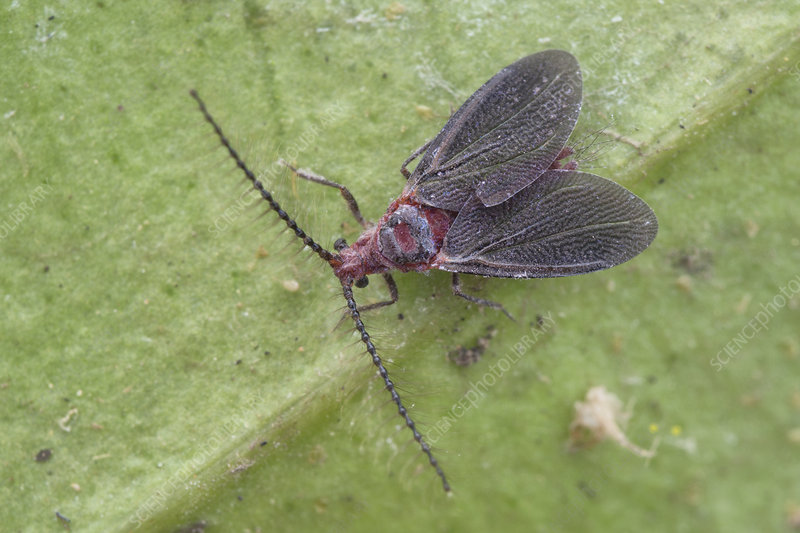 Adult male giant scale insect