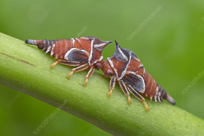 Treehopper nymphs