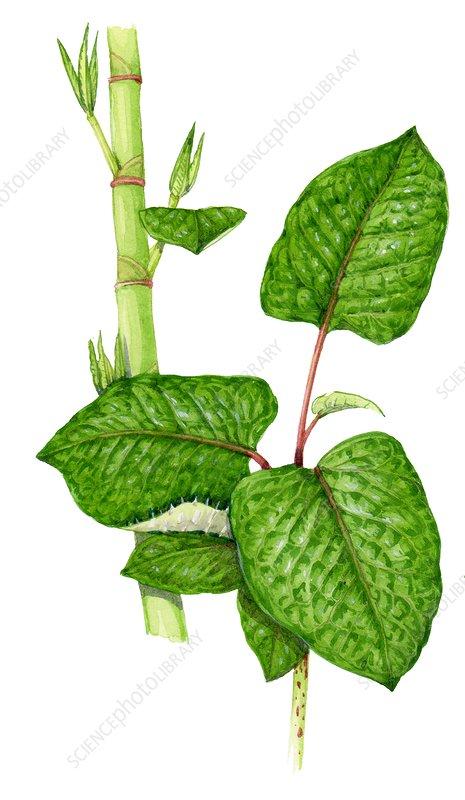 Hybrid knotweed, illustration