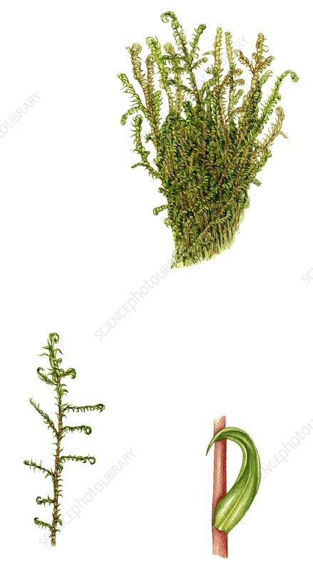 Intermediate hook moss (Scorpidium cossonii), illustration