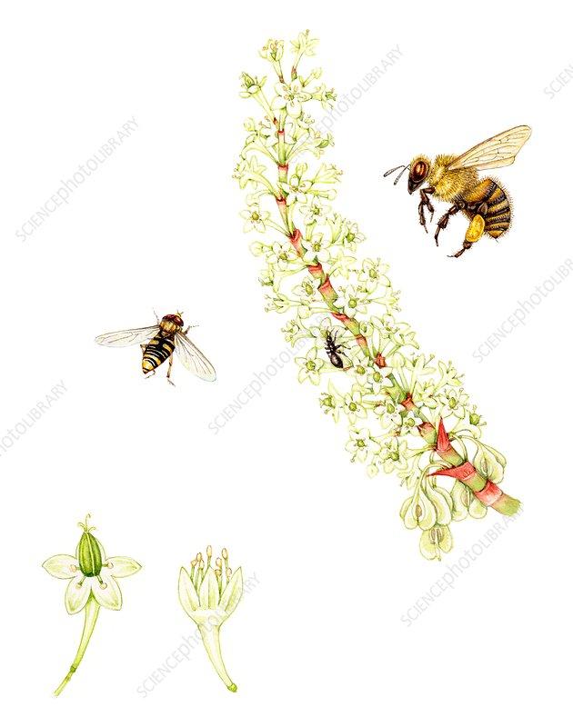 Japanese knotweed (Fallopia japonica), illustration