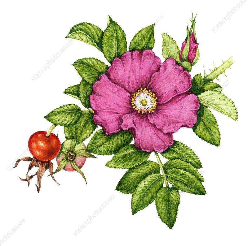 Japanese rose (Rosa rugosa), illustration