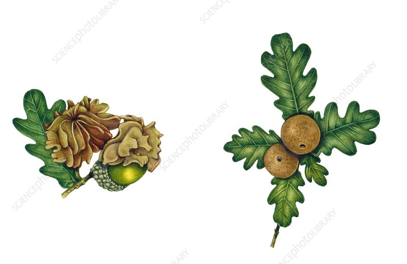 Knopper and oak apple gall, illustration