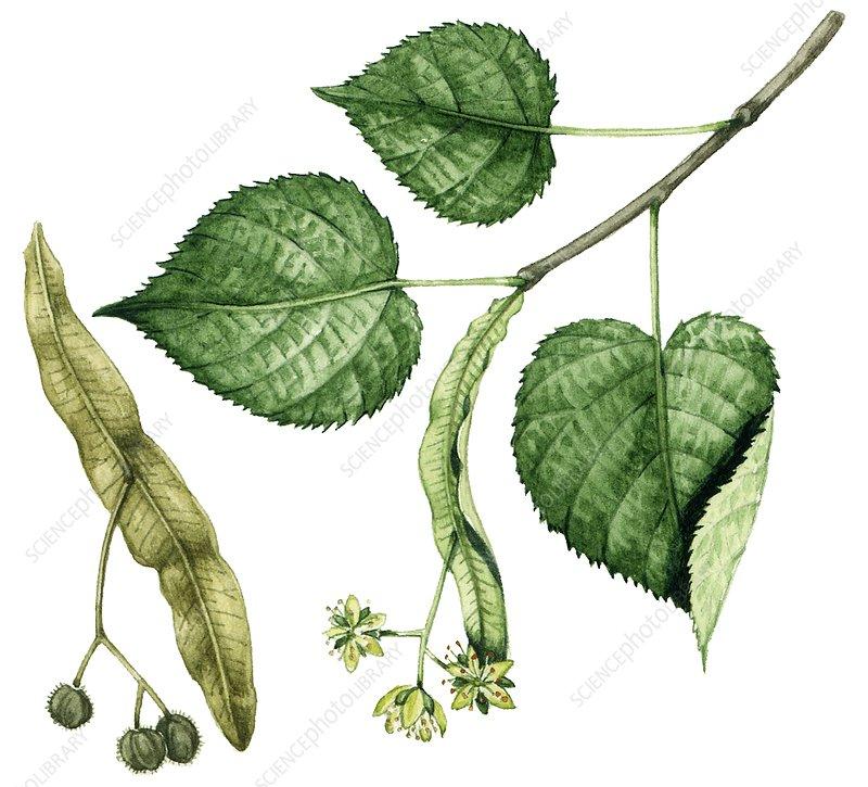 Large-leaved lime (Tilia platyphyllos), illustration
