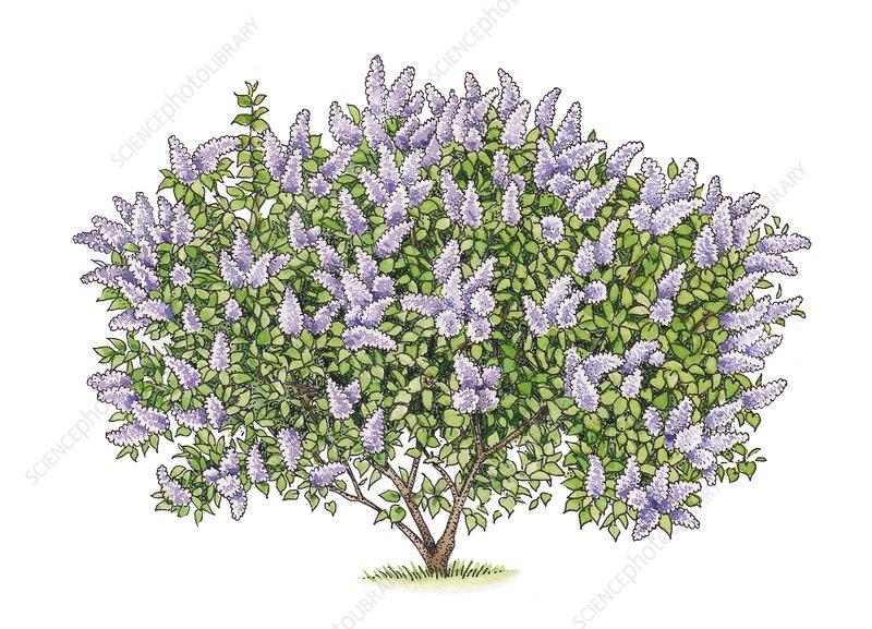 Lilac (Syringa vulgaris) tree, illustration