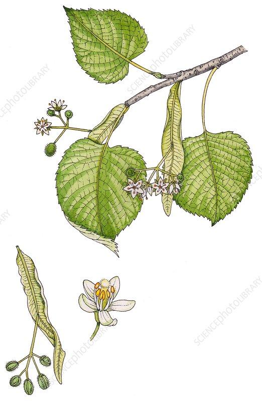 Small-leaved lime (Tilia cordata), illustration