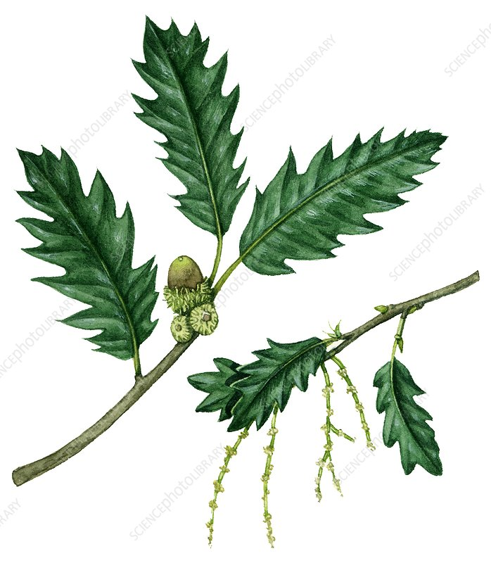 Lucombe Oak Quercus x hispanica 'Lucombeana', illustration