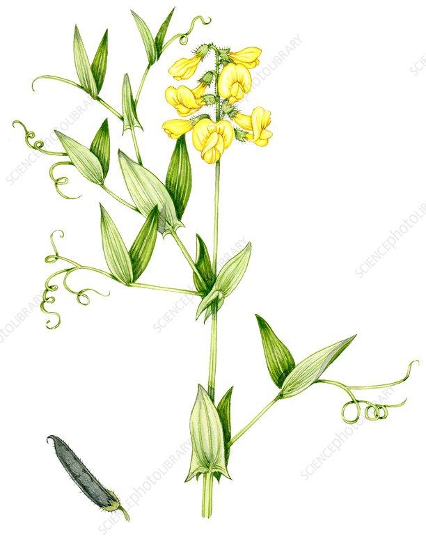 Meadow vetchling (Lathyrus pratensis), illustration