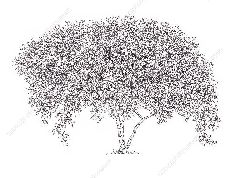 Common medlar (Mespilus germanica) tree, illustration