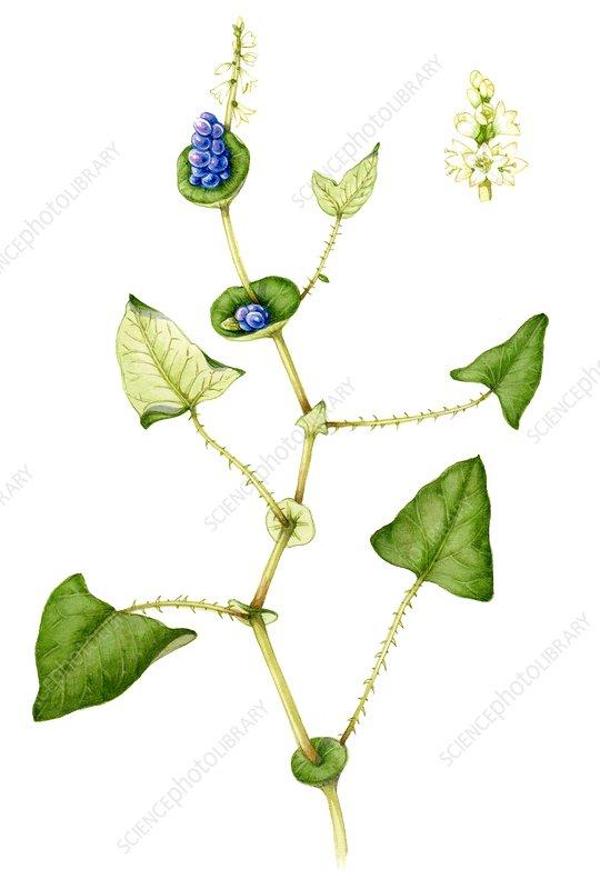 Asiatic tearthumb (Polygonum perfoliatum), illustration