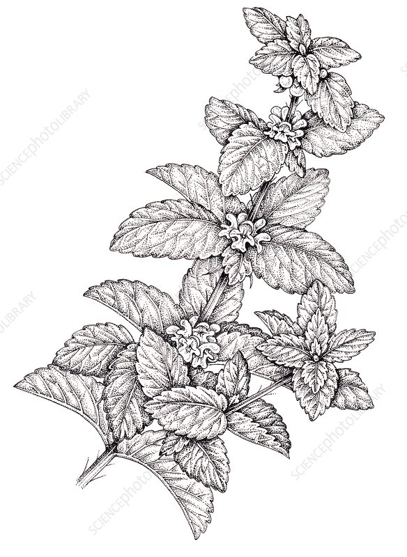 Garden spearmint (Mentha spicata), illustration