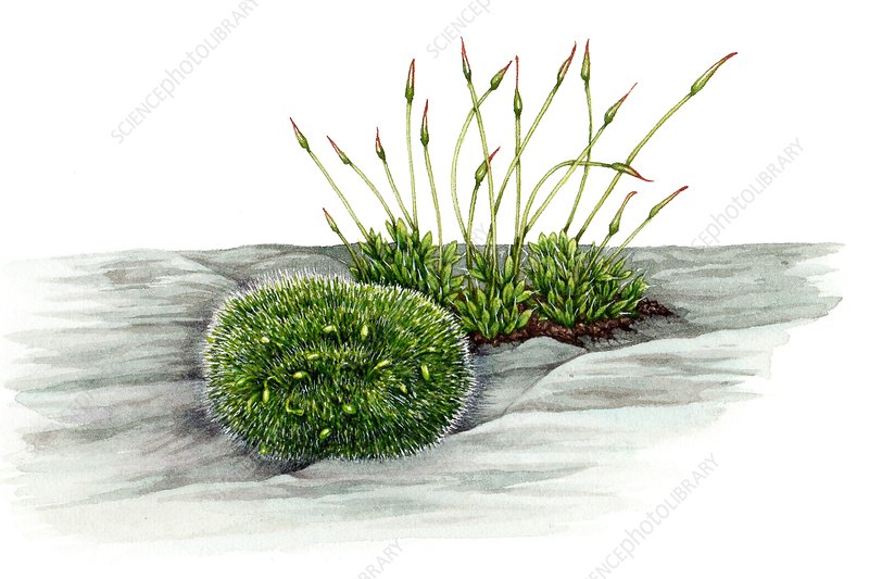 Grey cushioned grimmia and wall screw-moss, illustration