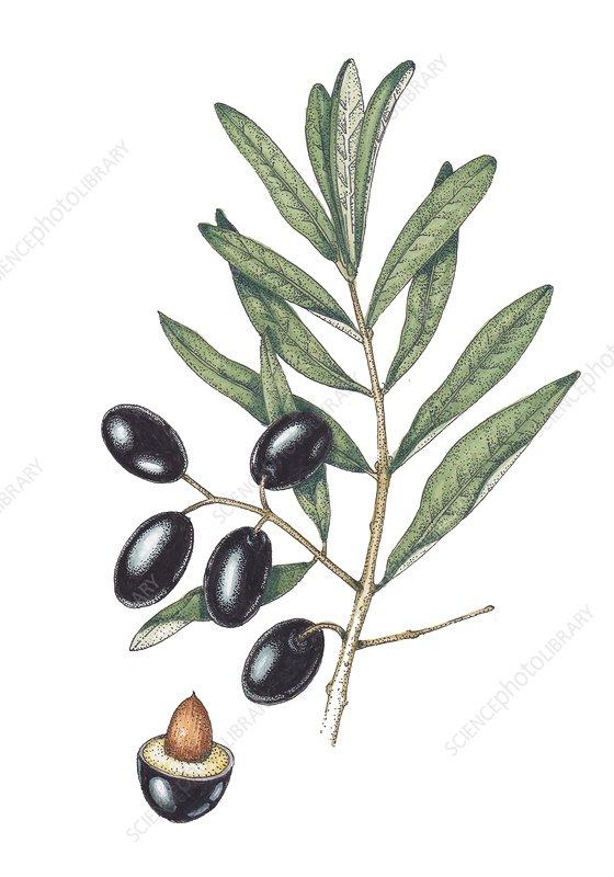 Olive (Olea europaea), illustration