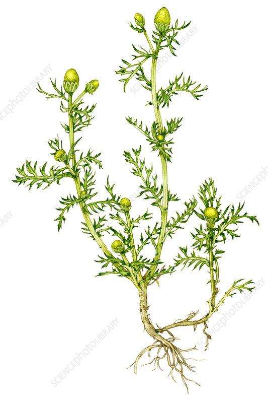 Pineapple mayweed (Matricaria discoidea), illustration