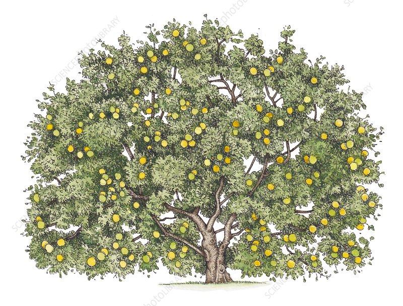 Quince (Cydonia oblonga) tree with fruit, illustration