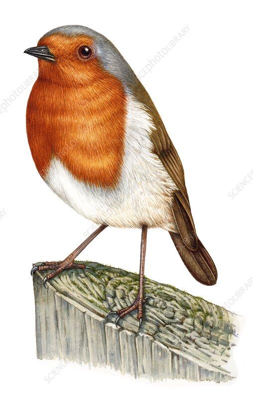 Robin (Erithacus rubecula), illustration