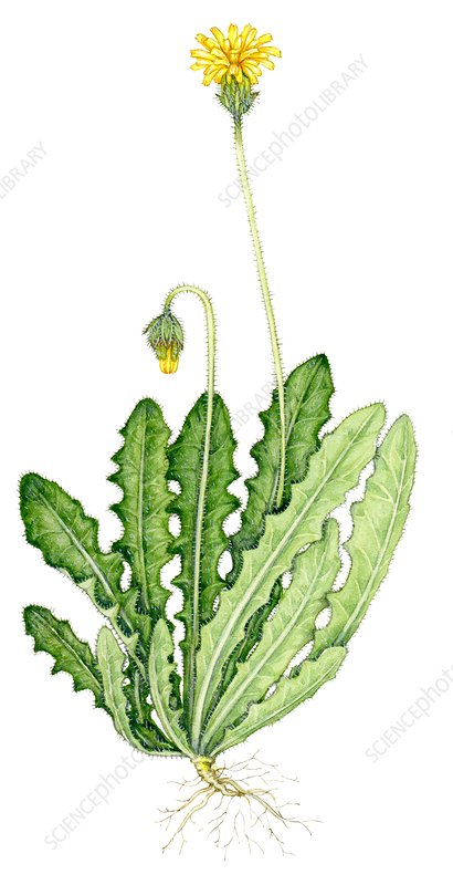 Rough hawkbit (Leontodon hispidus), illustration