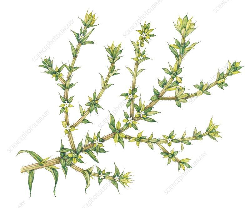 Common saltwort (Salsola kali), illustration