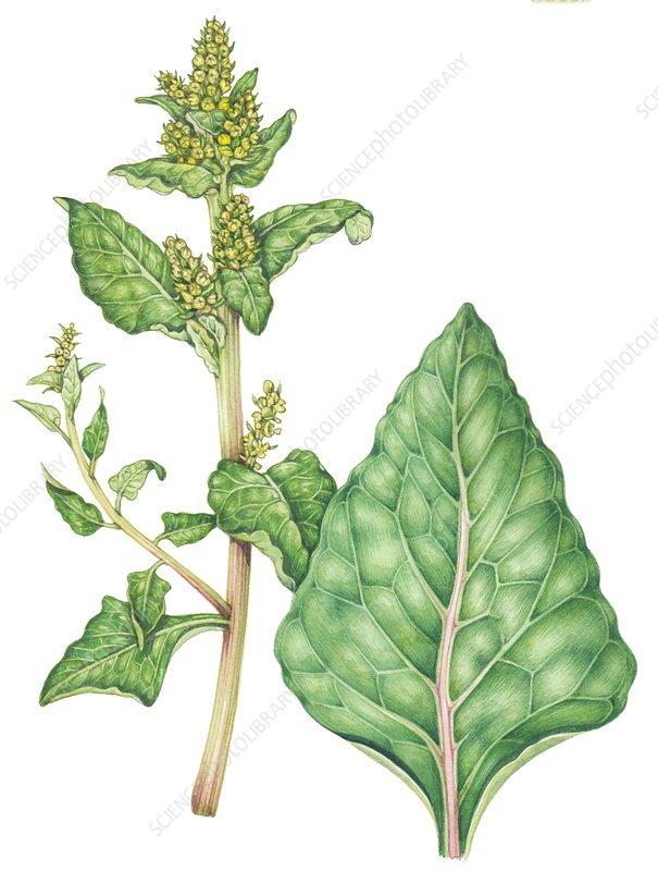 Sea beet (Beta vulgaris maritima), illustration