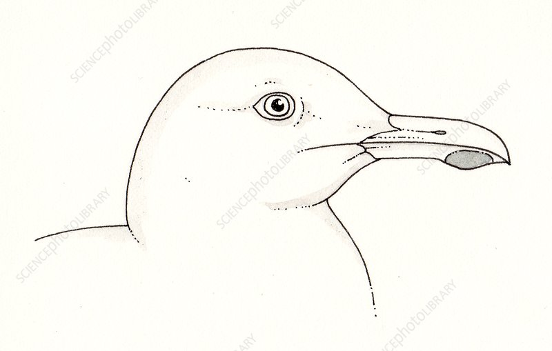 Seagull head, illustration