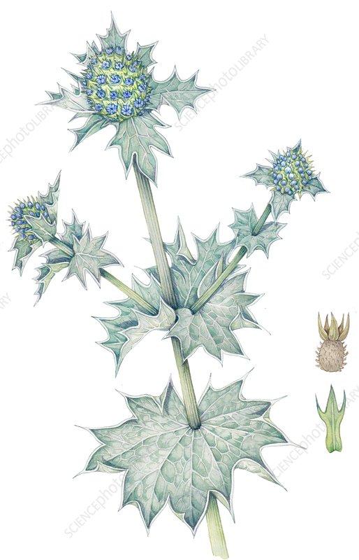 Sea holly (Eryngium maritimum), illustration