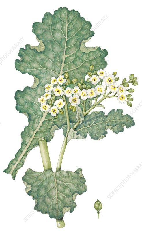 Sea kale (Crambe maritima) with seed detail, illustration