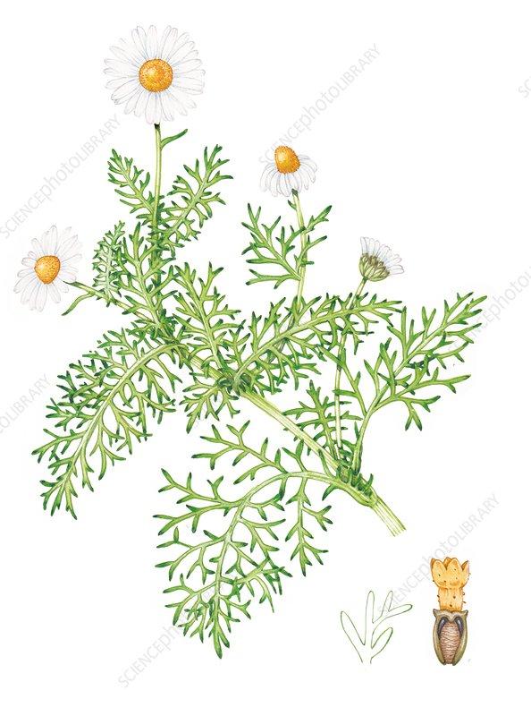 Sea mayweed (Tripleurospermum maritimum), illustration