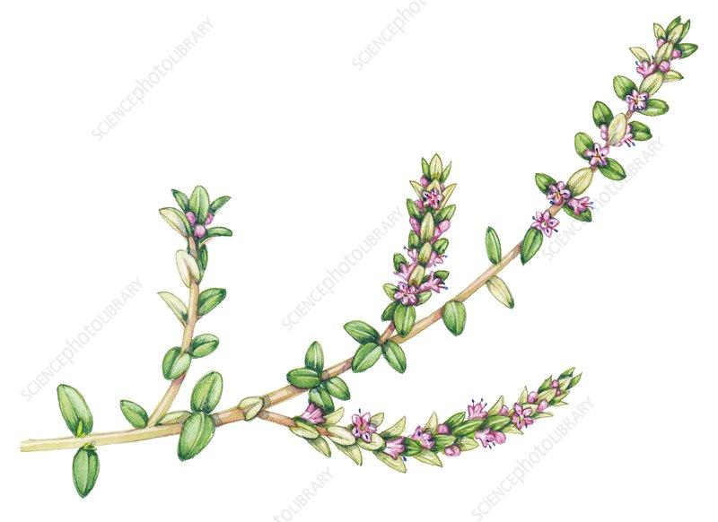 Sea milkwort (Lysimachia maritima), illustration