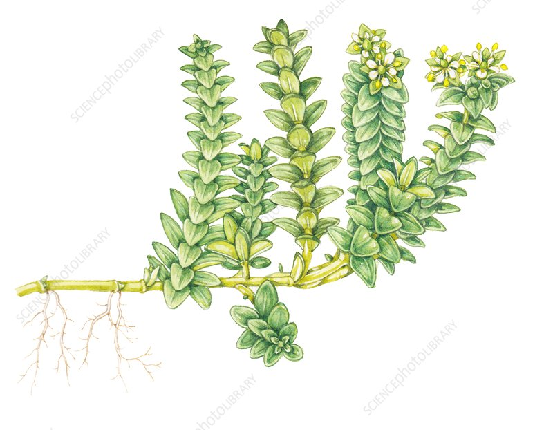 Sea sandwort (Honckenya peploides), illustration