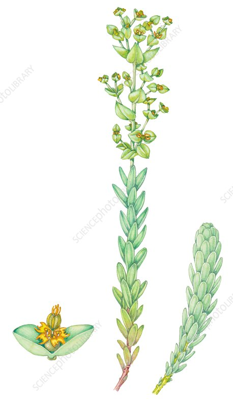 Sea spurge (Euphorbia paralias), illustration