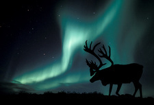 Aurora borealis and caribou