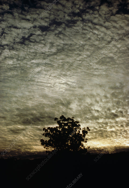 Cirrus and altocumulus clouds over tree